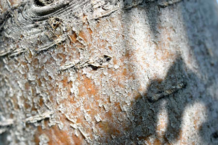 Trunk and bark of a rowan tree in the afternoon close-up