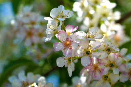 White flowers of a bird cherry in the spring in the afternoon Standard-Bild