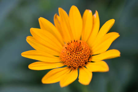 yellow chamomile heliopsis in the garden on a bush