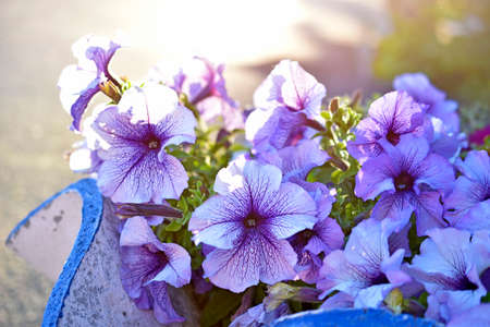 Large petunia flowers on a flower bed in the evening