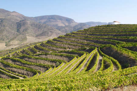 portugal agriculture: terraces of the Douro wine region