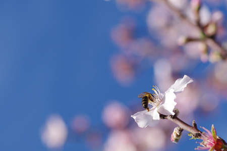 almond blossoms and honeybee photo