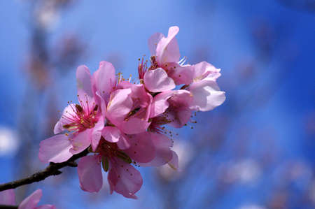 pink almond blossoms photo