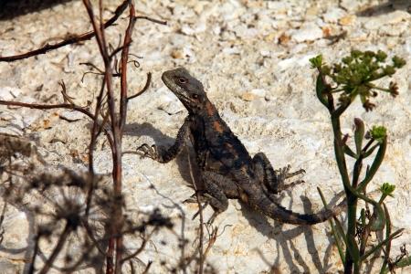 Lizard Stock Photo - 17685900