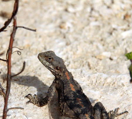 Lizard Stock Photo - 17685680