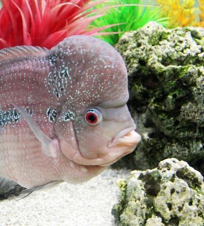 cichlid: Aquarium Redhead cichlid  Geophagus steindachneri  closeup