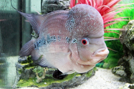 Aquarium Redhead cichlid  Geophagus steindachneri  closeup Stock Photo - 17746303