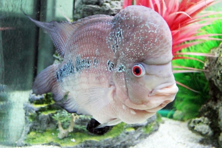 Aquarium Redhead cichlid  Geophagus steindachneri  closeup Stock Photo - 17746244