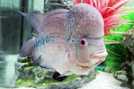 south american cichlid: Aquarium Redhead cichlid  Geophagus steindachneri  closeup