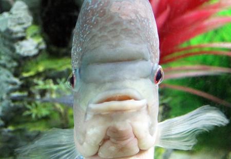 Aquarium Redhead cichlid  Geophagus steindachneri  closeup
