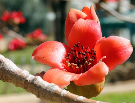 Blossoms of the Red Silk Cotton Tree  Bombax Reklamní fotografie - 18160253