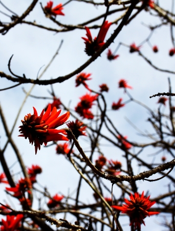 erythrina: The spectacular flower of the coral tree (Erythrina Lysistemon) Stock Photo