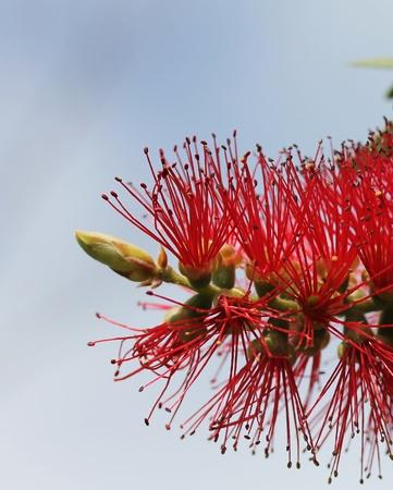 true myrtle: Red Bottle Brush Tree Flower