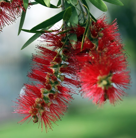 true myrtle: Red Bottle Brush Tree Flower