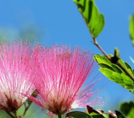 fabaceae:  Calliandra surinamensis,  Inga pulcherrima  (Mimosoideae  Mimosaceae) or (Fabaceae) Stock Photo