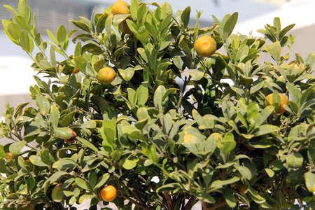 tangerine tree: Tangerine tree with ripening fruits Stock Photo