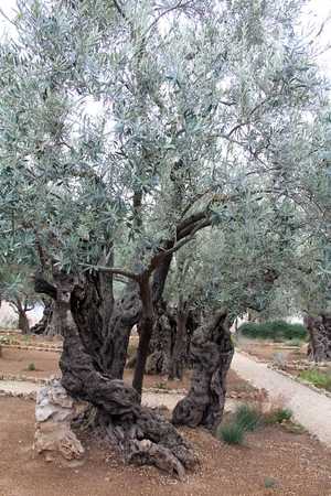 Garden of Gethsemane where Jesus prayed before the crucifixion  Jerusalem