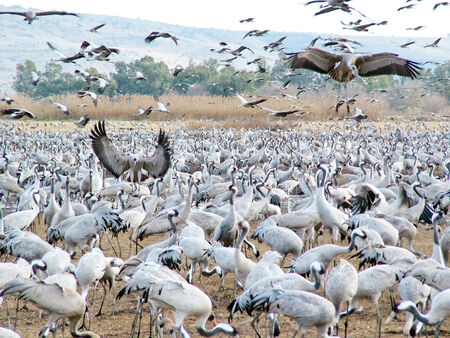bird of israel: Common Cranes at Hula Valley Nature Reserve in Israel