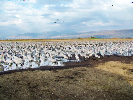 freshwater bird: Common Cranes at Hula Valley Nature Reserve in Israel