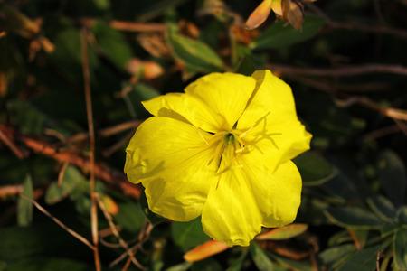 oenothera biennis: Evening primrose, night candle  Oenothera biennis  Stock Photo