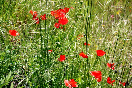 champ vert: Pavot rouge sur un champ vert