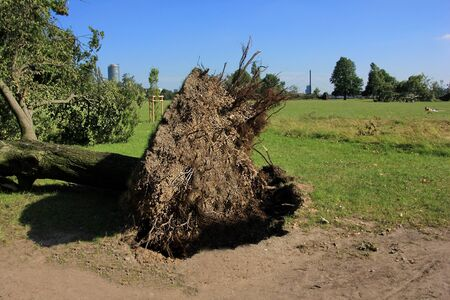 Fallen tree blown over by heavy winds photo