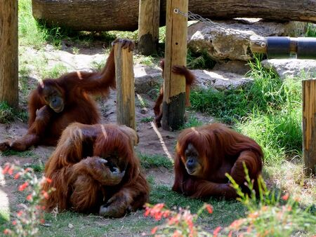 primitivism: Portrait of orangutans family sitting on the grass