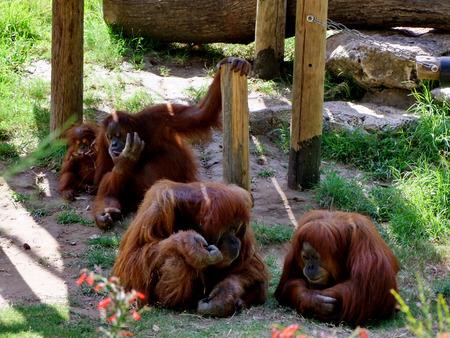 ramat aviv: Portrait of orangutans family sitting on the grass