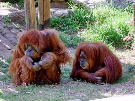 primitivism: Orangutans quarrel couple sitting on the grass Stock Photo