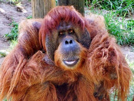 primitivism: Macro portrait of  large  thoughtful mail orangutan