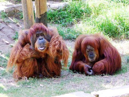 ramat aviv: Orangutans quarrel couple sitting on the grass Stock Photo