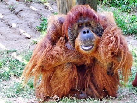 ramat aviv: Macro portrait of  large  thoughtful mail orangutan