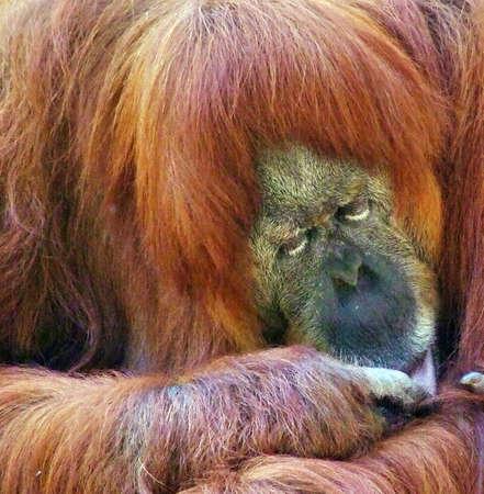 ramat aviv: Orangutan put his head on his paws and sleeps