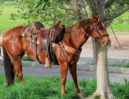 tethered: Horses tethered under the trees before driving tourists to the scenic surroundings Stock Photo
