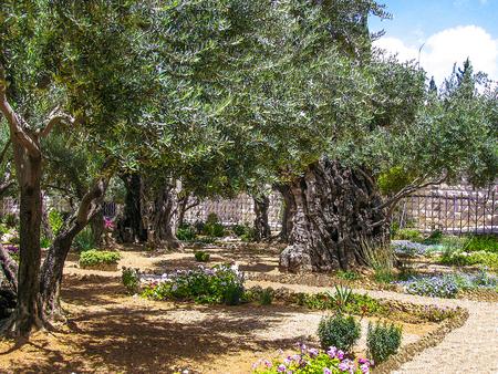 testaments: Olives trees in the Garden of Gethsemane, Jerusalem. Stock Photo