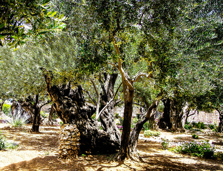 yielding: Olives trees in the Garden of Gethsemane, Jerusalem. Stock Photo