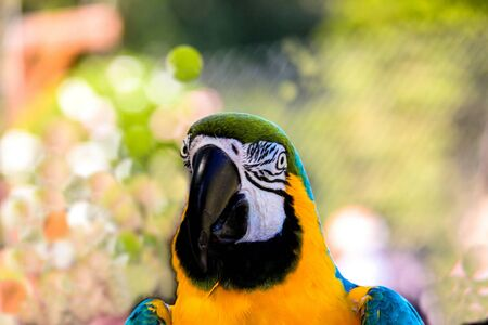 bird of israel: parrot macaws ( Ara ararauna) on grunge background