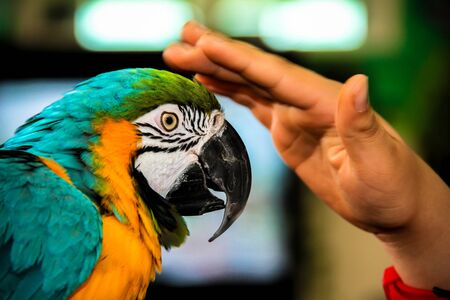 ararauna: Playing with parrot macaws ( Ara ararauna) on grunge background