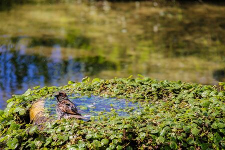 israel farming: Urban sparrow bathing in the water pool with goldfish