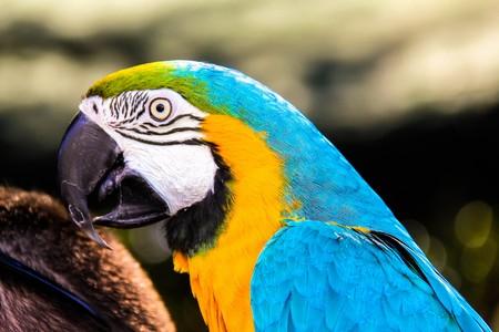 utopia: parrot macaws ( Ara ararauna)   in the Utopia orchid  park   in Bahan . Israel