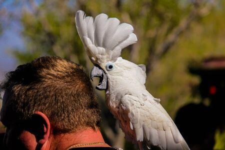 utopia: Unidentified  man playing with White Cockatoo parrot  Cacatua alba or Umbrella Cockatoo in park Utopia. Bat-Hafar, Israel