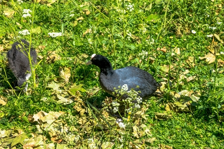 st jamess: The Hawaiian coot (Fulica alai) in the St. jamess park, London. Editorial