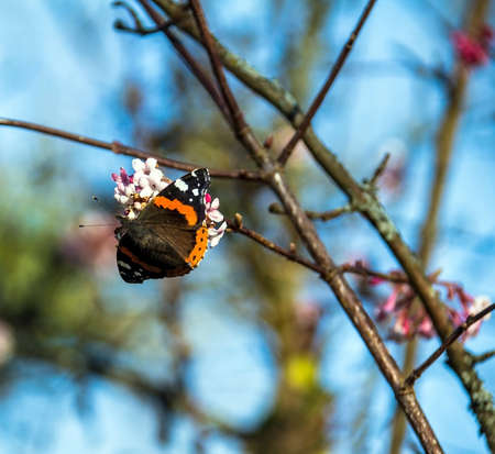 admiral: Red admiral butterfly collecting pollen from flowering bush at the winter. Baden-Baden. Germany