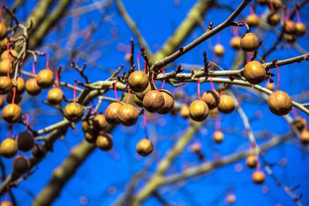 hankie: Davidia involucrata, the dove-tree,  handkerchief tree, pocket handkerchief tree, or ghost tree, is  deciduous tree, usually placed in the tupelo family (Nyssaceae), or dogwood family (Cornaceae), or Davidiaceae. Baden-Baden, Germany
