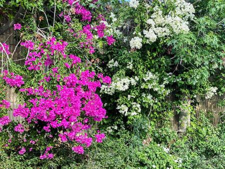Purple and white bougainvillea . Beautiful summer background 免版税图像