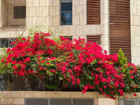 Red bougainvillea front large building in Red bougainvillea front large building in Tel Aviv. Israel 免版税图像