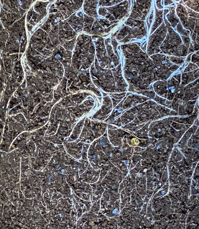 Earth from pots with the bare dried roots of seedlings texture background 免版税图像
