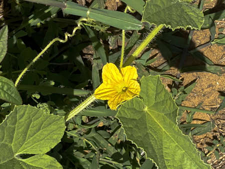 Yellow flower and leaves of cucumber in the summer garden