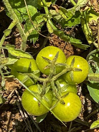 Green growing unripe tomatoes on a branch among the leaves