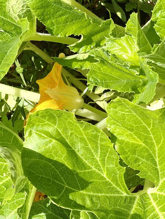 Flowers on zucchini bush at school garden where primary school students may learning about agriculture and farming.